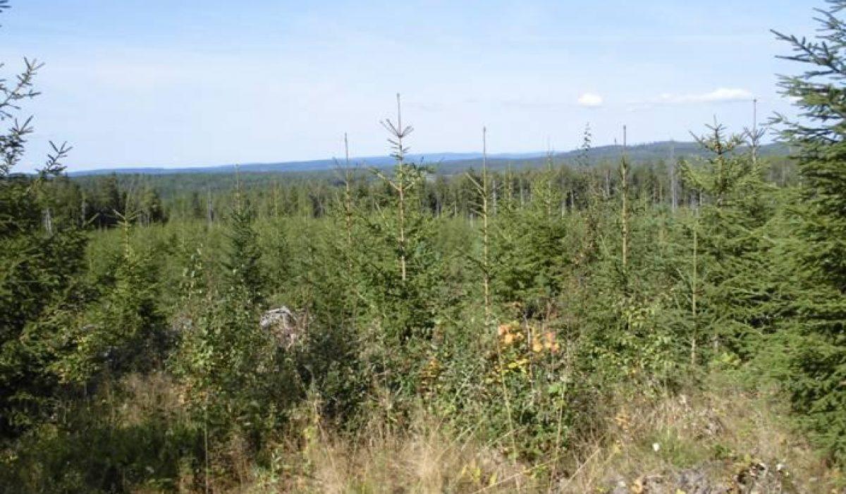 Skog med berg i bakgrunden